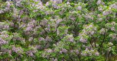 White cedar (enjbe) Tags: australia whitecedar tree flower spring homegrown