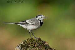 Cuareta blanca, Lavandera blanca, White /Pied Wagtail (Motacilla alba) (Carles Pibernat) Tags: