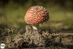 Fly agaric (Frankhuizen Photography) Tags: fly agaric kaulille belgium 2017 amanita muscaria vliegenzwam nature natuur fotografie photography frankhuizen mushroom outdoor depthoffield pilze belgië paddenstoel autumn herfst micro macro landscape landschap dof sand zand