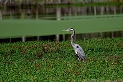 Great Blue Heron (Paul's Captures (paul-mashburn.artistwebsites.com)) Tags: frog frogs greenfrog greatblueheron bird birds birdsofafeather wetland guptonwetland