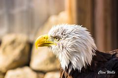 Bald Eagle (wells117) Tags: 2017 banhamzoo clivewells norfolk oct oct2017 zoo