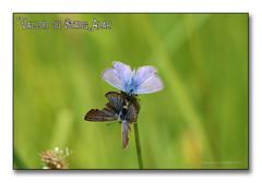 Vallon du Stang Alar 2017 - L'Argus bleu ... (porte-plume) Tags: stangalard stangalar brest