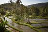 Vous voulez du riz? (Ye-Zu) Tags: tdm bali rizière tourdumonde field worldtour rice munduk indonésie