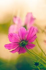 Slow down (Ans van de Sluis) Tags: ansvandesluis autumn bokeh bokehlicious cosmea fall flora floral flower nature sunny sunset