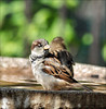 Basking in the Sunshine (John Neziol) Tags: jrneziolphotography nikon nikondslr nikoncamera nikond80 nature naturallight portrait wildlife wings water animal sparrow animalphotography housesparrow beautiful brantford bokeh bright bird birds birdbath outdoor closeup cute macro interesting garden