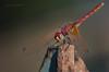 ... tocco ferro! (pamo67) Tags: pamo67 libellula dragonfly trasparenze trasparencies insetto insect closeup ferro iron ruggine rust pasqualemozzillo