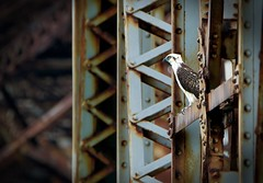 Under the Bridge (RWGrennan) Tags: bahia honda osprey bird bridge metal hawk seahawk florida fl railroad old birdofprey prey hunter wildlife wild nikon d610 tamron keys travel rwgrennan rgrennan ryan grennan 150600 600mm