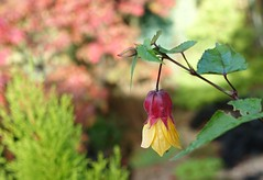 Smile on Saturday: tiny treasures in flora - explored (quietpurplehaze07) Tags: tinytreasuresinflora garden abutilon smileonsaturday