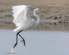 Miyagi Move (George_Adkins) Tags: select egret waterbird water chulavista southbay wildlife birdofprey birds marina sandiegobay pacificocean