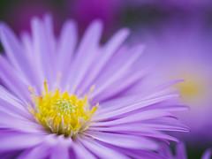 Purple & Yellow (Karsten Gieselmann) Tags: 60mmf28 aster blumen blüten em5markii gelb herbst jahreszeiten lila mzuiko microfourthirds natur olympus pflanzen autumn blossom fall flower kgiesel m43 mft nature purple seasons violett yellow