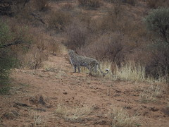 PA042355 Leopard (Joanna P Dale) Tags: kgalagaditransfrontierpark matamata olympus omdem1mkii panasonic100400 africanleopard leopard