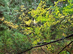 Fall foliage (walneylad) Tags: westlynn lynnvalley northvancouver britishcolumbia canada park parkland forest rainforest urbanforest woods woodland october fall autumn afternoon trail trees leaves ferns clouds rain wet green yellow brown nature scenery view