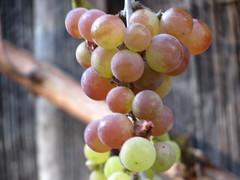 IMG_3798 (germancute) Tags: nature grapes trauben