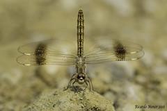 Brachythemis impartita. Macho. Male (Ricardo Menor) Tags: odonatos anisópteros dragonfly dragonflies bracythemisimpartita airelibre iluminaciónnatural obelisco calasparra embalsedeargos naturallighting canon60d 2016 calasparra2016
