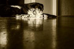 Nap time (gosakd) Tags: dogphotography dog pet animal animalphotography canecorso mastiff cute lovely napping sleeping home indoor light shadows dogportrait