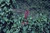 Kırkgeçit amerikan sarmaşığı (Biga'm1) Tags: nikond300s tamronadaptall224mmf25model01b hüseyinbaşaoğlu huseyinbasaoglu biga pegai çanakkale dardanel turkei turquie türkiye