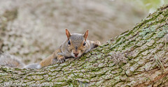 Squirrel with a Dirt Mustache (mylesfox) Tags: tree squirrel