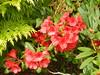Azalea Bush, Dunblane, May 2017 (allanmaciver) Tags: azalea bush dunblane scotland red green admire enjoy delight shine allanmaciver