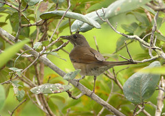 Mirla Ollera, Black-billed Thrush (Turdus ignobilis) (Francisco Piedrahita) Tags: aves birds lamacarena colombia mirlaollera blackbilledthrush turdusignobilis