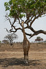 Trouver l'ombre ! Find the shade ! 4229_DxO.jpg (Zoizeaux de Gabriel) Tags: girafe mikumi nikond750 tanzanie