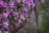Rhododendrons (Zara Calista) Tags: nikon d750 nikkor 70200mm vr ii vrii pink bokeh