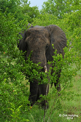 Just shy?  328034gb (Dirk Huitzing) Tags: africanelefant olifant krugerpark mpumalanga loxodontaafricana