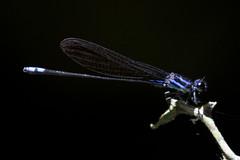 Neotropical bluet (ramosblancor) Tags: naturaleza nature animales wildlife insectos insects caballitosdeldiablo damselfly color amazonía amazonia jungle selva terrafirme brasil brazil azul blue neotropicalbluet enallagmanovaehispaniae