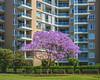 trees (The Photo Smithy) Tags: nsw pyrmont sydney flats jacaranda trees
