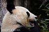 Großer Panda (Wildfaces_No.1) Tags: panda bär schwarzweis pflanzenfresser bambus china gefährtet atrisk bamboo funny baer