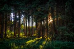 Another day ends (der_peste) Tags: hss sliderssunday slider forest woodland timberland trees sun sunset sunstar sundown sunlight sunbeams evening mood