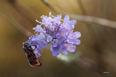 1N6A2708 ( UNIXetvous ) Tags: zygène flower bokeh eau water drops gouttes rosée dew