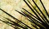 Urchin shrimp (PacificKlaus) Tags: bolinao pangasinan philippines scuba diving underwater ocean nature macro closeup stegopontoniacommensalis urchin diadema commensal crustacean shrimp echinoderm spines