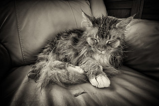 After The Rain, Maine Coon.