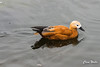 Ruddy shelduck (wells117) Tags: 2017 august2017 pensthorpenaturereserve aug auguast bird clivewells duck nature naturereserve norfolk pensthorpe ruddyshelduck tadornaferruginea waterfowl northnorfolkdistrict england unitedkingdom