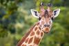 Madame Girafe (sviet73) Tags: animal girafe portrait