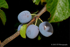 Ciruelas (T.I.G. Foto Digital) Tags: naturaleza arbustos bosque nikon d3000 españa frutas ciruelas retrato