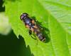 Syritta Syrphid Fly (milesizz) Tags: diptera milwaukee wisconsin wi aschiza syrphidae syrphidflies eristalinae milesiini