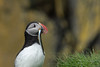Catch of the Day (finor) Tags: sony alpha a6500 ilce6500 sal70400g2 nature wildlife bird puffin papageientaucher iceland fish ingólfshöfði