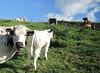 AUTUMN PASTURE (LitterART) Tags: herde herd kühe cow cows kuh vache vaches steiermark styria austria österreich weide pasture pferd horse