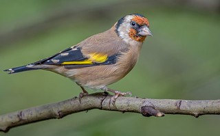 JWL6577 Goldfinch..