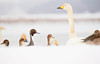 Evaluation. (HIromi Kano) Tags: kurihara miyagi japan swan pintail snow lake izunuma nature wildbird wildlife animal eaafp ramsarconvention 日本 伊豆沼 栗原市 宮城県 白鳥 ハクチョウ オナガガモ ラムサール条約 登米市 雪