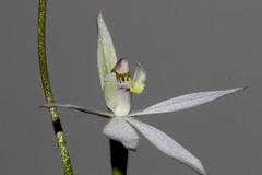 Caladenia carnea (andreas lambrianides) Tags: caladeniacarnea orchidaceae australianflora australiannativeplants australianorchids terrestrialorchids nsw qld vic tas sa