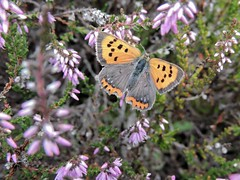 Small Copper (Kevin Pendragon) Tags: ericacarnea heather pink green orange black spots grey summer sun sunshine outdoors priddy