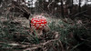 Amanita muscaria (eddy_737) Tags: amanita muscaria canon bokeh forest red green colors mushroom toxicity toxic nature poison dof france