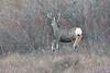 Mule Deer Buck (getting back ( slowly )) Tags: mule deer buck mid air flying nikon d4 nikkor 400mm f28 ed 4000 mm