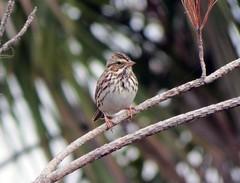 Savannah Sparrow, © 2016 Russ Martens Birdingtogether all rights reserved. Wellington Environmental Preserve, Wellington, FL