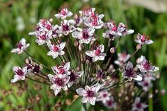Candy Coated (Eddie C3) Tags: parisfrance jardindesplantes butomusumbellatus