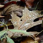 2017610625 VILLERS (56)autumn leaf in drops thumbnail