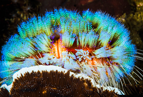 Magnificent Fire Urchin - Asthenosoma ijimai