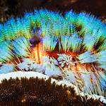 Magnificent Fire Urchin - Asthenosoma ijimai thumbnail